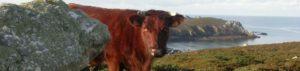 La Vache Armoricaine